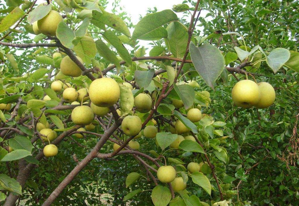 1公分梨樹苗報價 供應商