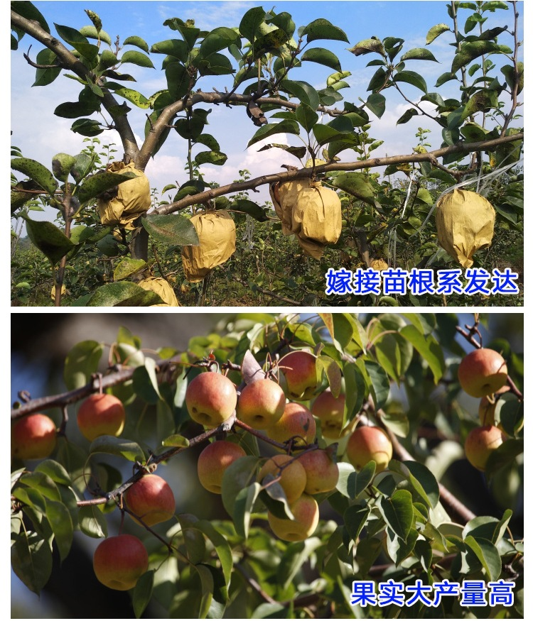 玉露香梨樹苗價格、批發基地