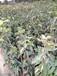 河南玉露香梨樹苗基地、什么品種好