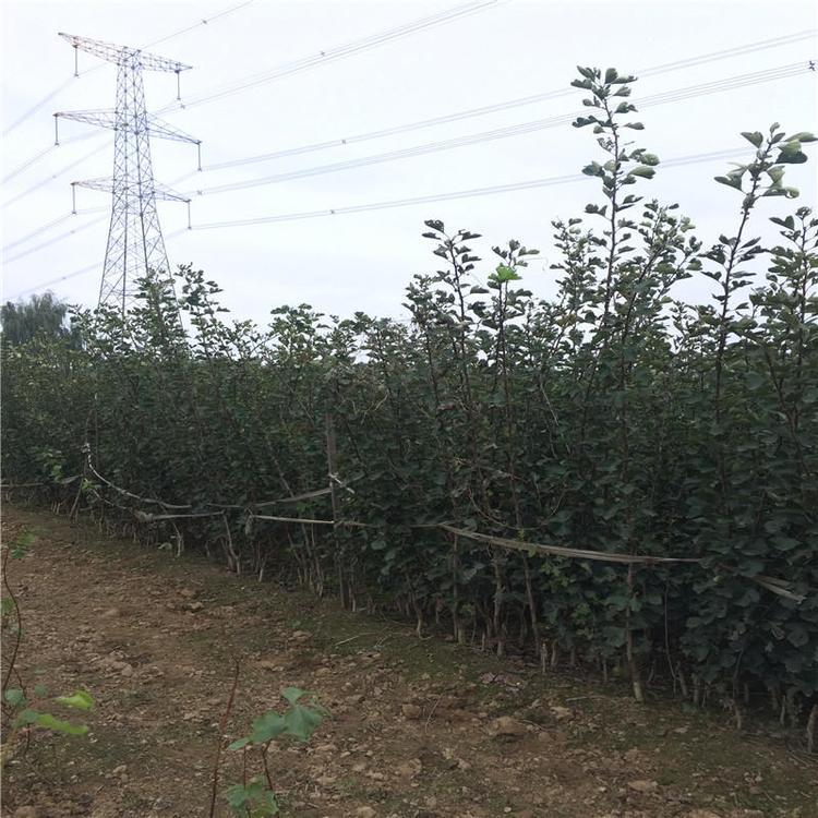 厂家山楂苗种植基地