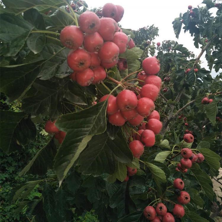 棉球山楂苗包运输 品种介绍