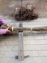 长葛香椿苗高产保收品种矮化香椿苗图片