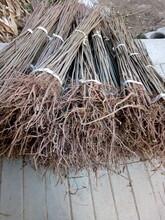 虹口香椿苗价格优惠香椿苗味道鲜美图片
