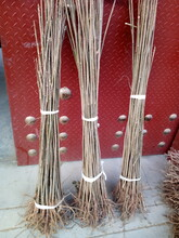 九龙坡成活率高香椿苗4公分香椿苗图片