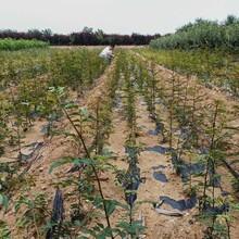 保定包品种花椒苗一年生花椒苗基地直销图片