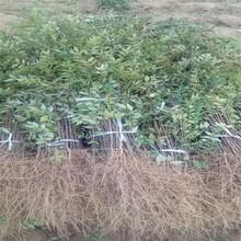 通化产地花椒苗大量批发花椒苗图片