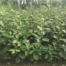 石景山基地柿子树苗1公分柿子苗图片