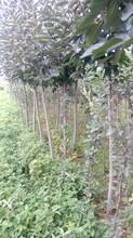 闵行嫁接柿子苗品种2公分柿子苗出售图片