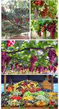 金华美人指葡萄苗品种介绍图片