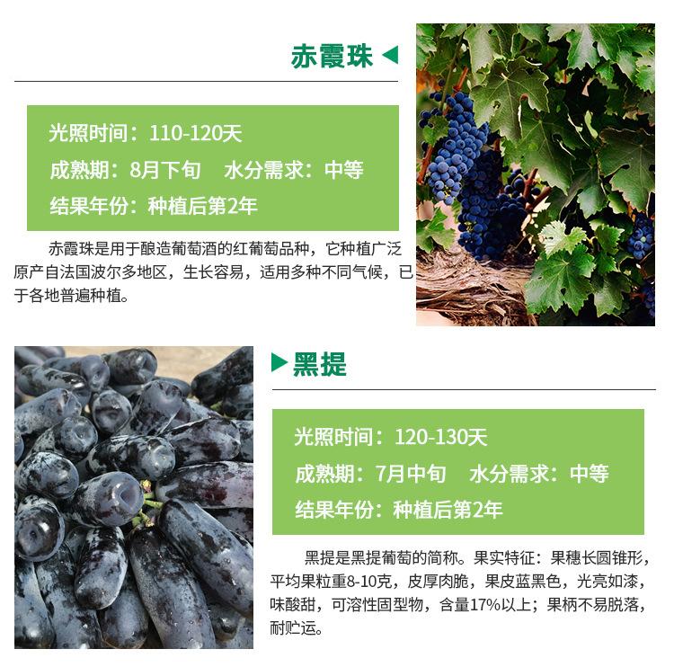 河南晚熟葡萄苗产地品种介绍