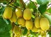 海南省直轄澄邁紅陽獼猴桃樹苗現挖現賣