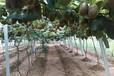 福建徐香猕猴桃怎样种植嫁接技术
