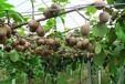 海南省直轄萬寧果樹苗批發紅陽獼猴桃苗