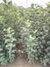 河南新鄉美國八號蘋果樹品種