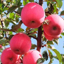 北京蘋果訂購圖片