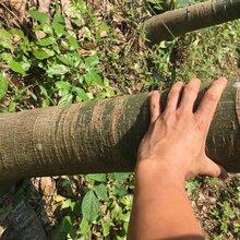 大型發財樹種植基地,出售一批發財樹