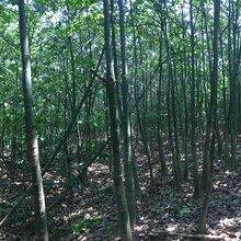 發財樹直徑12-20CM
