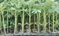 现货速发粉果西红柿苗抗病毒番茄苗普罗旺斯西红柿苗常年供应