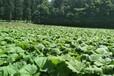 瑞源農業莊黃,永州優質大黃苗用量