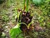 合肥供應大黃品種繁多