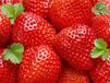 懷柔甜寶草莓苗供應歡迎購買洽談合作