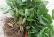云浮大棚草莓苗價格歡迎購買洽談合作