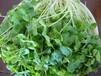 教你在家種純綠色無公害蔬菜-蕎麥芽苗菜