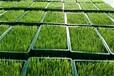 無土栽培-水培的好處