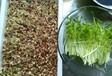 紅豆芽苗菜種植技術
