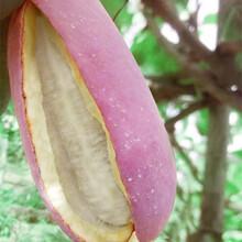 貴州八月瓜新鮮水果上市牛卵坨八月炸木通野香蕉包郵圖片