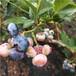 自由蓝莓苗种植技术自由蓝莓苗繁育基地