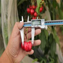 1年樱桃树苗基地现货供应1年樱桃树苗价格图片