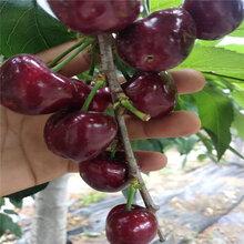 福晨樱桃树苗出厂价格福晨樱桃树苗品种图片