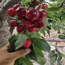 红灯樱桃树苗种植时间红灯樱桃树苗价格图片