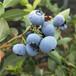 南高丛蓝莓苗种植技术南高丛蓝莓苗品种