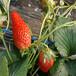 豐香草莓苗批發價格、舟山草莓苗品種齊全