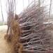 拉宾斯樱桃树苗基地现货供应拉宾斯樱桃树苗报价价格
