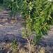 矮化樱桃树苗大棚栽培品种矮化樱桃树苗品种