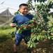 美国1号樱桃树苗基地现货供应美国1号樱桃树苗品种