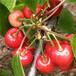 矮化櫻桃樹苗大棚栽培品種矮化櫻桃樹苗報價