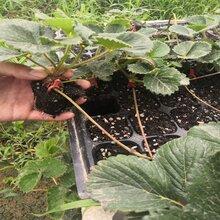 草莓苗保品种纯度图片