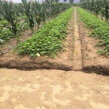 妙香七号草莓苗种苗订购热线图片