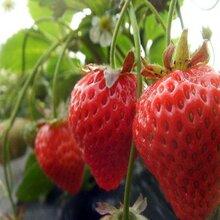 大量供应草莓苗定苗热线图片