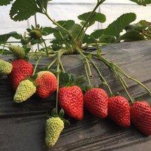 热搜:草莓苗种植方法图片