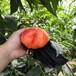 中油蟠7號桃苗質量可靠,中油蟠7號桃苗推廣品種