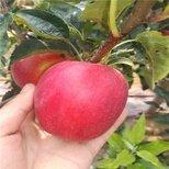 鲁丽苹果苗基地电话,鲁丽苹果苗种植要领图片1