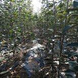 鲁丽苹果苗基地电话,鲁丽苹果苗种植要领图片3