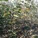 魯麗蘋果苗好吃的新品種,魯麗蘋果苗品種優良成活率高