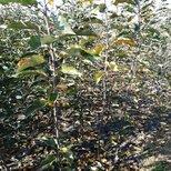 鲁丽苹果苗基地电话,鲁丽苹果苗种植要领图片2
