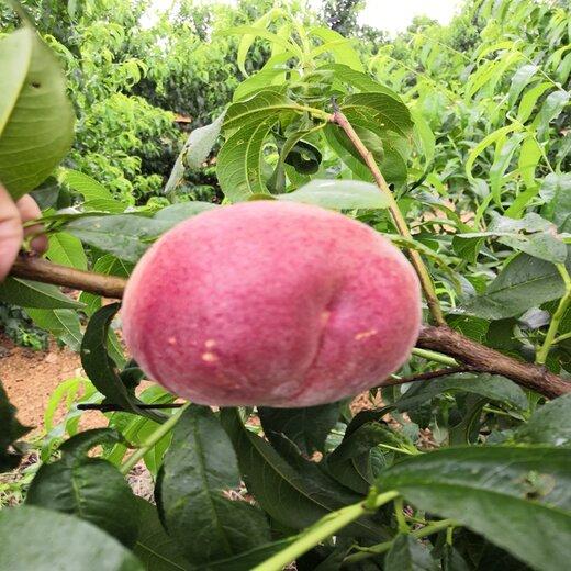 中桃金魁桃苗种苗基地